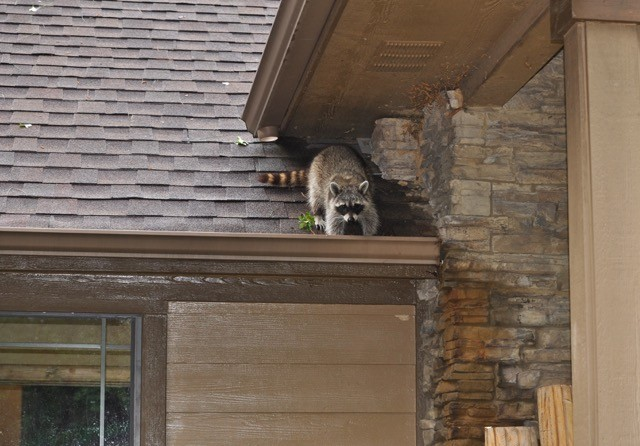 Always Count on Professionals for Raccoon Removal in Vancouver